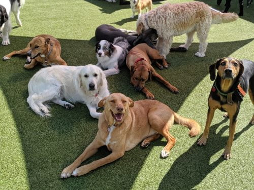 Group of dogs lounging outside