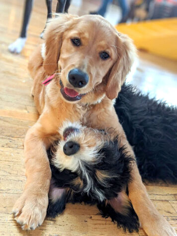puppies playing at doggie daycare