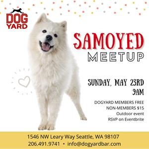 Samoyed Meetup in Ballard